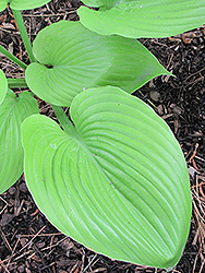 Sum and Substance Hosta (Hosta 'Sum and Substance') at Chalet Nursery