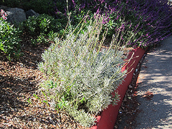 French Lavender (Lavandula dentata) at Chalet Nursery
