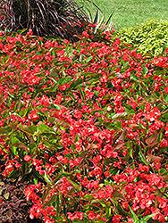 Dragon Wing Red Begonia (Begonia 'Dragon Wing Red') at Chalet Nursery