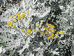 Silver Dust Dusty Miller (Senecio cineraria 'Silver Dust') at Chalet Nursery