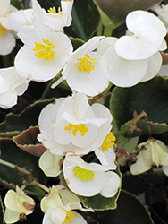 Bada Boom® White Begonia (Begonia 'Bada Boom White') at Chalet Nursery