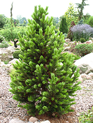 Formal Form Bristlecone Pine (Pinus aristata 'Formal Form') at Chalet Nursery