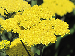 Moonshine Yarrow (Achillea 'Moonshine') at Chalet Nursery