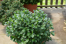 Low Scape® Mound Aronia (Aronia melanocarpa 'UCONNAM165') at Chalet Nursery