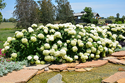 Incrediball® Hydrangea (Hydrangea arborescens 'Abetwo') at Chalet Nursery