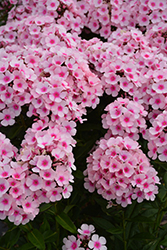 Bright Eyes Garden Phlox (Phlox paniculata 'Bright Eyes') at Chalet Nursery