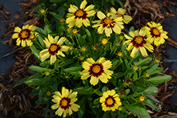 UpTick™ Yellow and Red Tickseed (Coreopsis 'Baluptowed') at Chalet Nursery