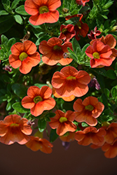 Aloha Hot Orange Calibrachoa (Calibrachoa 'Aloha Hot Orange') at Chalet Nursery