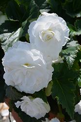 Nonstop White Begonia (Begonia 'Nonstop White') at Chalet Nursery
