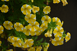 Superbells Lemon Slice Calibrachoa (Calibrachoa 'Superbells Lemon Slice') at Chalet Nursery