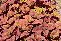 ColorBlaze® Royal Glissade® Coleus (Solenostemon scutellarioides 'Royal Glissade') at Chalet Nursery