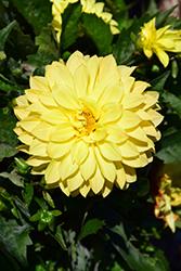 Dahlinova Hypnotica Yellow Dahlia (Dahlia 'Hypnotica Yellow') at Chalet Nursery
