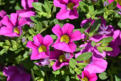 Million Bells® Trailing Pink Calibrachoa (Calibrachoa 'Million Bells Trailing Pink') at Chalet Nursery