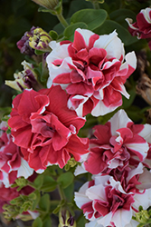 Madness Red And White Double Petunia (Petunia 'Madness Red And White Double') at Chalet Nursery