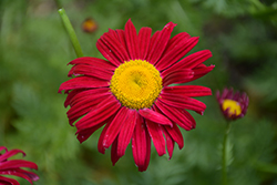 Robinson's Red Painted Daisy (Tanacetum coccineum 'Robinson's Red') at Chalet Nursery