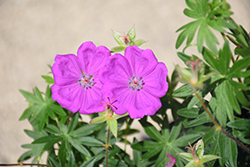 New Hampshire Purple Cranesbill (Geranium sanguineum 'New Hampshire Purple') at Chalet Nursery