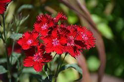 Rockin'™ Red Pinks (Dianthus 'PAS1141436') at Chalet Nursery