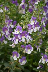 Angelface Wedgewood Blue Angelonia (Angelonia angustifolia 'Angelface Wedgewood Blue') at Chalet Nursery