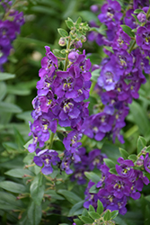 Angelface® Blue Angelonia (Angelonia angustifolia 'Angelface Blue') at Chalet Nursery
