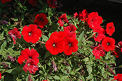 Surfinia® Deep Red Petunia (Petunia 'Surfinia Deep Red') at Chalet Nursery