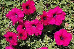 Surfinia® Giant Purple Petunia (Petunia 'Surfinia Giant Purple') at Chalet Nursery