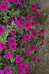 SuperCal® Purple Petchoa (Petchoa 'SuperCal Purple') at Chalet Nursery