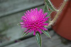 Pink Zazzle Gomphrena (Gomphrena 'Pink Zazzle') at Chalet Nursery