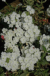 Empress™ White Verbena (Verbena 'Empress White') at Chalet Nursery