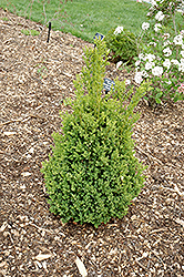 Green Mountain Boxwood (Buxus 'Green Mountain') at Chalet Nursery