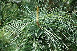 Morris Blue Korean Pine (Pinus koraiensis 'Morris Blue') at Chalet Nursery