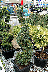 Green Mountain Boxwood (spiral form) (Buxus 'Green Mountain (spiral)') at Chalet Nursery