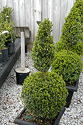 Green Mountain Boxwood (poodle form) (Buxus 'Green Mountain (poodle)') at Chalet Nursery