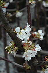 Stella Cherry (Prunus avium 'Stella') at Chalet Nursery