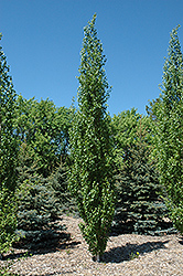 Parkland Pillar Japanese White Birch (Betula platyphylla 'Jefpark') at Chalet Nursery
