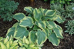 Earth Angel Hosta (Hosta 'Earth Angel') at Chalet Nursery