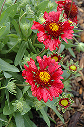 Burgundy Blanket Flower (Gaillardia x grandiflora 'Burgundy') at Chalet Nursery