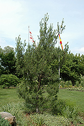 Twisted White Pine (Pinus strobus 'Contorta') at Chalet Nursery