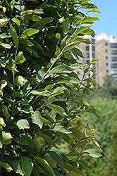 Frans Fontaine Hornbeam (Carpinus betulus 'Frans Fontaine') at Chalet Nursery