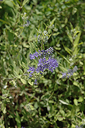 Worcester Gold Caryopteris (Caryopteris x clandonensis 'Worcester Gold') at Chalet Nursery