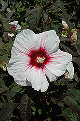 Kopper King Hibiscus (Hibiscus 'Kopper King') at Chalet Nursery