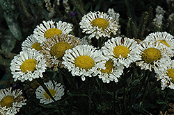 Real Neat Shasta Daisy (Leucanthemum x superbum 'Real Neat') at Chalet Nursery