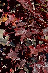 Crimson Sunset Maple (Acer 'JFS-KW202') at Chalet Nursery