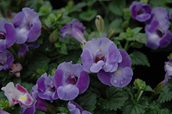 Blue Moon Torenia (Torenia 'Blue Moon') at Chalet Nursery
