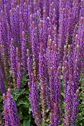 East Friesland Sage (Salvia nemorosa 'East Friesland') at Chalet Nursery