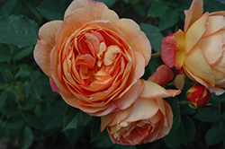 Lady Of Shalott Rose (Rosa 'Ausnyson') at Chalet Nursery