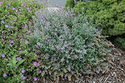 Cat's Meow Catmint (Nepeta x faassenii 'Cat's Meow') at Chalet Nursery