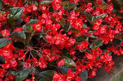 Whopper Red Bronze Leaf Begonia (Begonia 'Whopper Red Bronze Leaf') at Chalet Nursery
