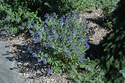 First Choice Caryopteris (Caryopteris x clandonensis 'First Choice') at Chalet Nursery