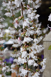 Snow Fountains Weeping Cherry (Prunus 'Snow Fountains') at Chalet Nursery