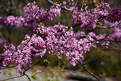 Hearts of Gold Redbud (Cercis canadensis 'Hearts of Gold') at Chalet Nursery